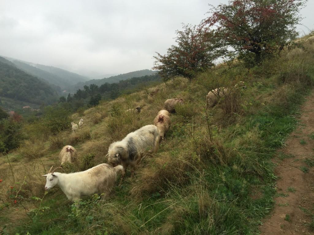 Ovce na svahu